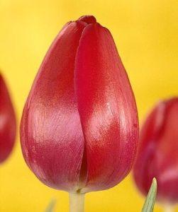 Тюльпан Атилла Граффити