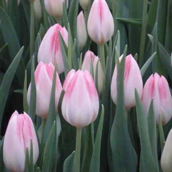 Луковицы тюльпана Микки Чик