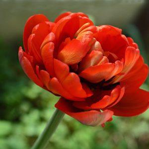 Луковицы тюльпана Абба