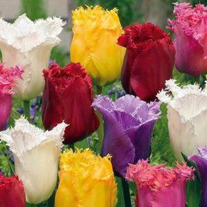 Луковицы тюльпанов бахромчатые