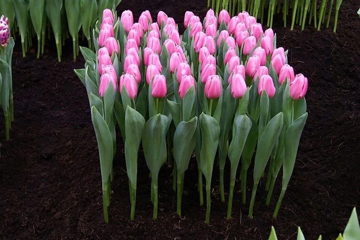 Размножение тюльпанов