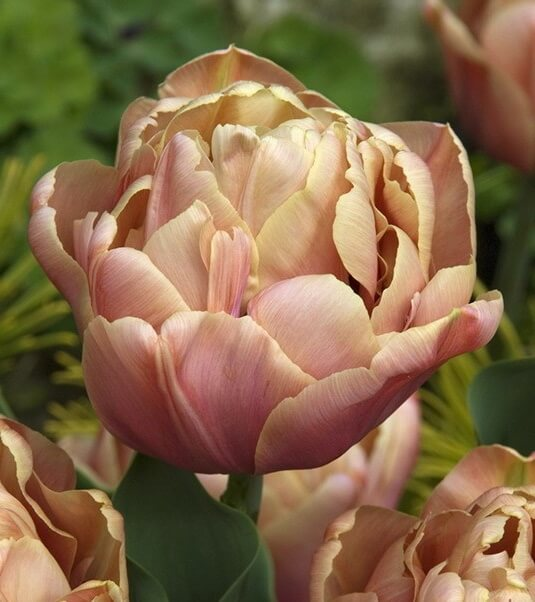 Луковицы тюльпана Ла Бель Эпок