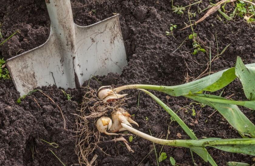 Выкапываем тюльпаны