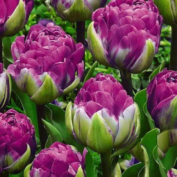 Луковицы тюльпана Блю Вау