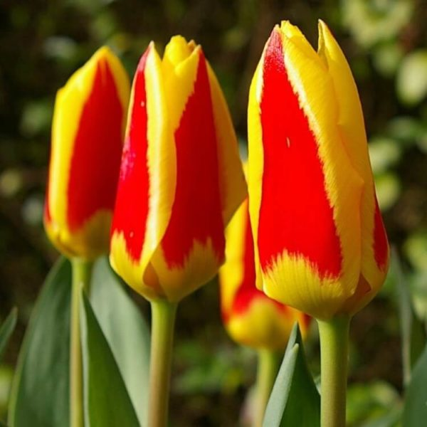 Луковицы тюльпана Стреза