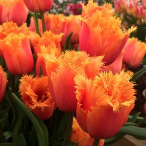 Луковицы тюльпана Ламбада
