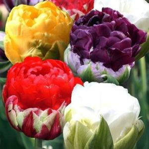 Луковицы тюльпанов пионовидные