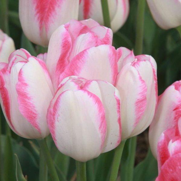 Луковицы тюльпана Тукан