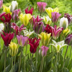 Луковицы тюльпанов зеленоцветные