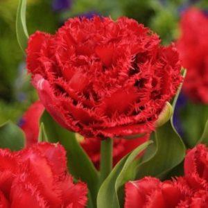 Луковицы тюльпана Лион Кинг