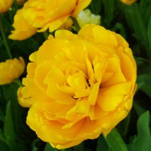 Луковицы тюльпана Монте Пеони