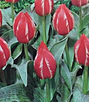 Луковицы тюльпана Френдли Файр