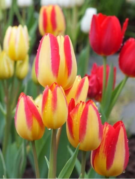 Луковицы тюльпана Флоретте