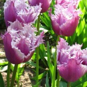 Луковицы тюльпана Камминс