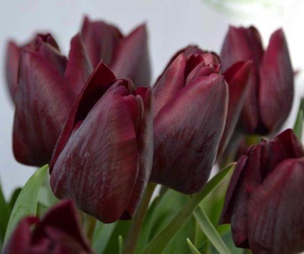 Луковицы тюльпана ВоллФлауэр