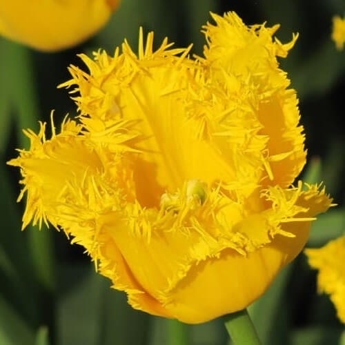 Луковицы тюльпана Криспи Мэри