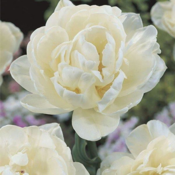 Луковицы тюльпана Ап Уайт