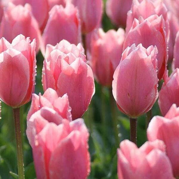 Луковицы тюльпана Альберт Хейн
