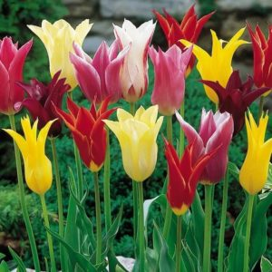 Луковицы тюльпанов лилиецветные