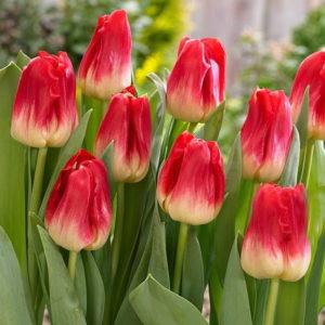 Луковицы тюльпана Матч
