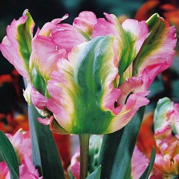 Луковицы тюльпана Грин Вейв
