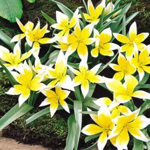 Луковицы тюльпана Тарда