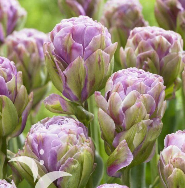 Луковицы тюльпана Вайолет Прана