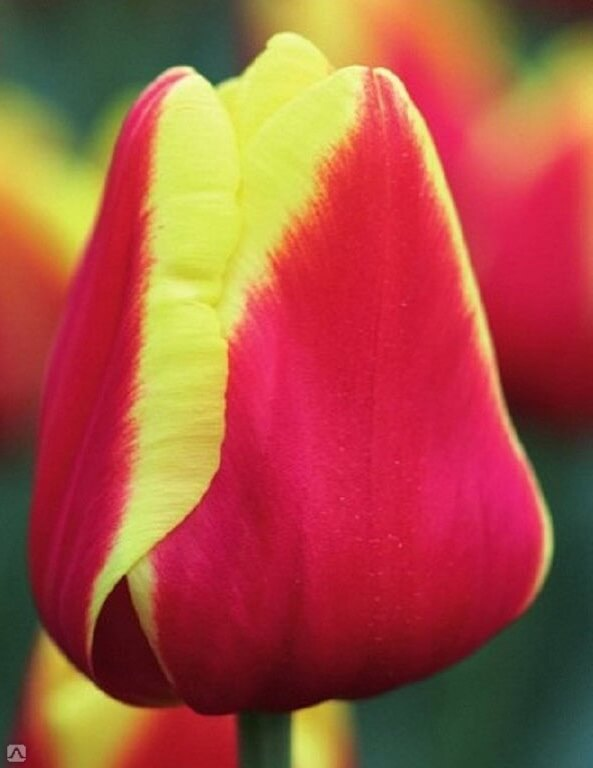 Луковицы тюльпана Денмарк