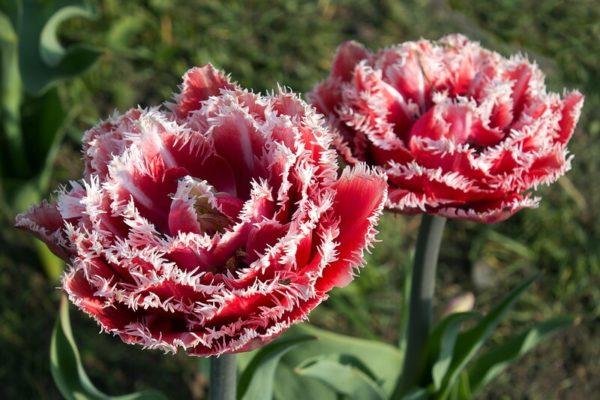 Луковицы тюльпана Брест