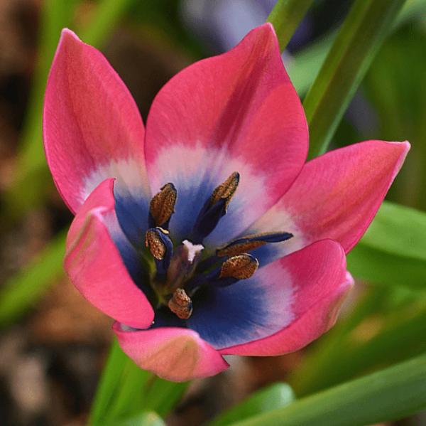 Луковицы тюльпана Литтл Бьюти