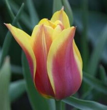 Луковицы тюльпана Баллад Дрим