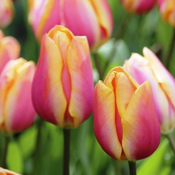 Луковицы тюльпана Драгон Кинг