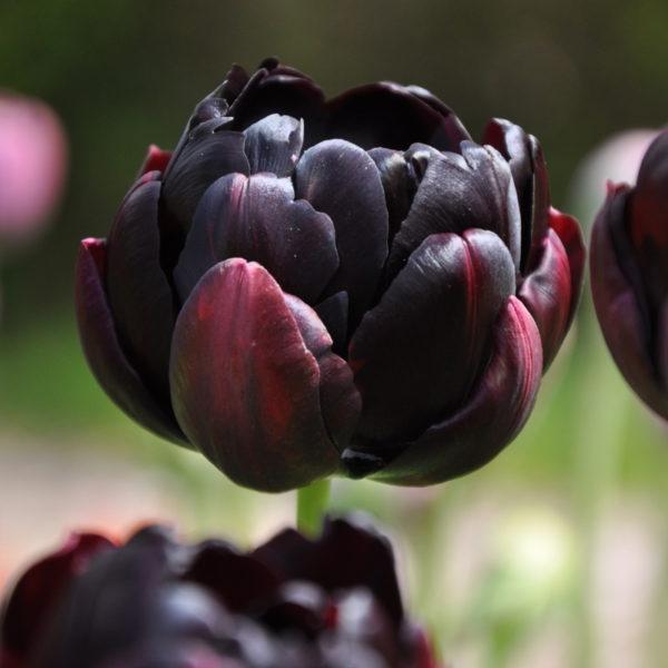 Луковицы тюльпана Блэк Хиро
