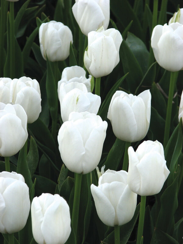 Луковицы тюльпана Антарктика