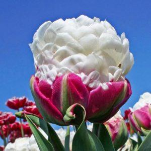 Луковицы тюльпана Дабл Полар