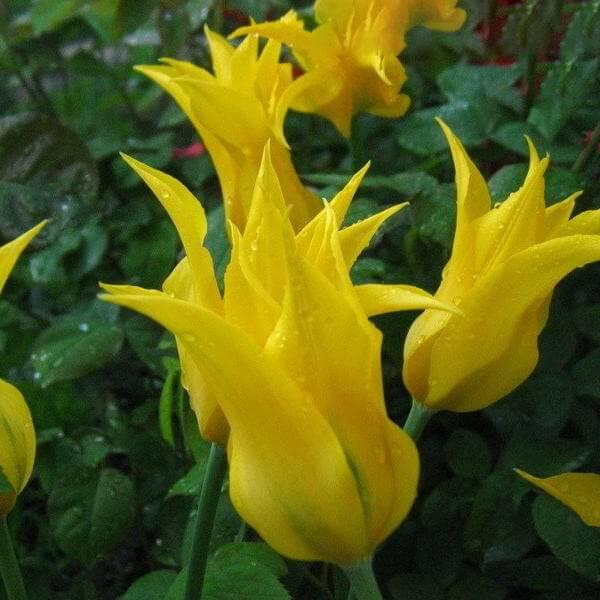 Луковицы тюльпана Денсинг Шоу