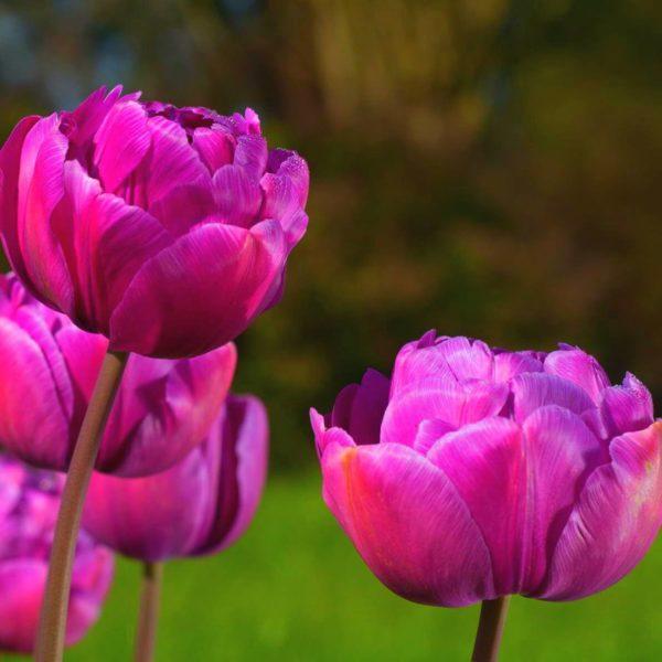 Луковицы тюльпана Блю Даймонд