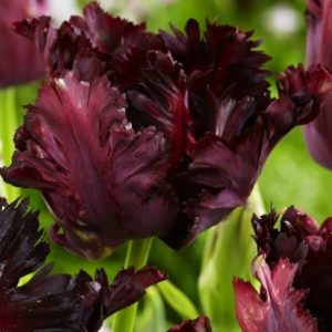Луковицы тюльпана Фрозен Найт