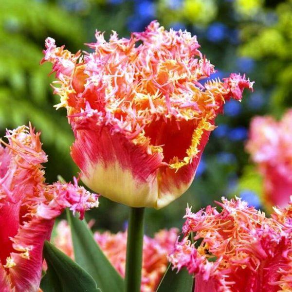 Луковицы тюльпана Джоинт Дивижн