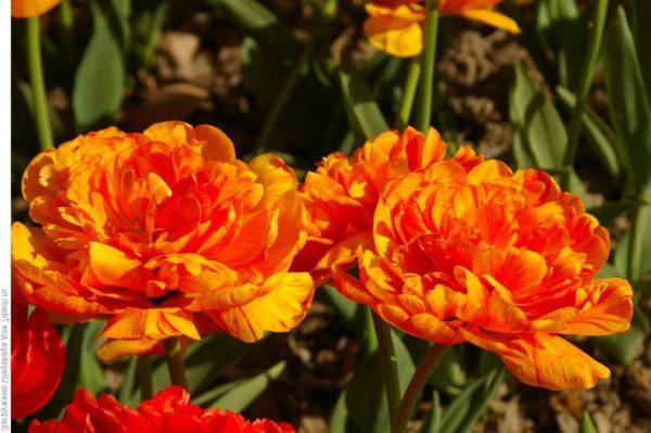 Луковицы тюльпана Монте Флэйм