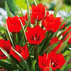 Луковицы тюльпана Ред Хантер