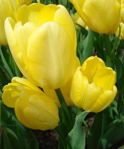 Луковицы тюльпана Фэтс Домино