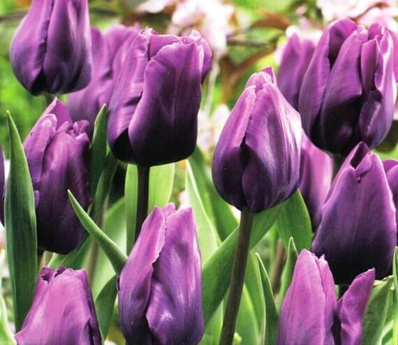 Луковицы тюльпана Перпл Рэйн