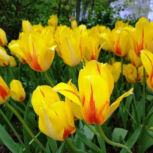 Луковицы тюльпана Хитпарад