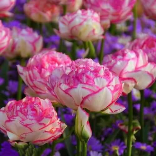 Луковицы тюльпана Дабл Тач
