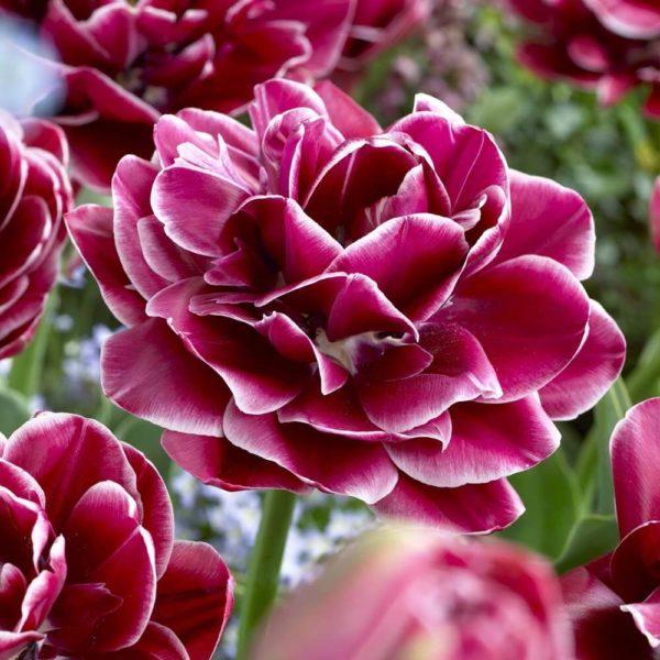 Луковицы тюльпана Дрим Тач