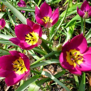 Луковицы тюльпана Одалиску