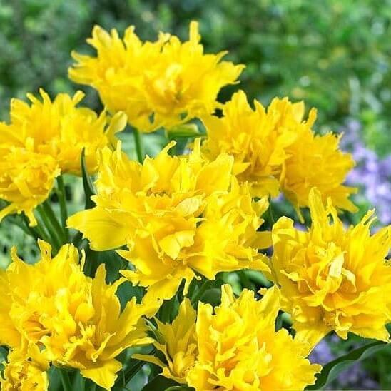 Луковицы тюльпана Монте Спайдер