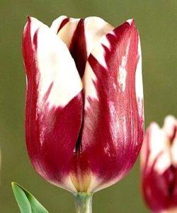 Тюльпан Африкан Квин