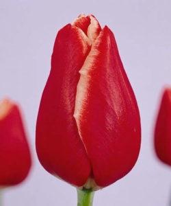 Тюльпан Ацебер